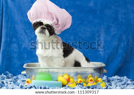 A black and white puppy sitting in a bath tub with hair cap on and rubber duckies around.