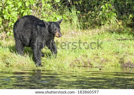 A Black Bear in Alaska while looking at you from the river shore