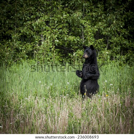 A black bear stands in a field of grass.