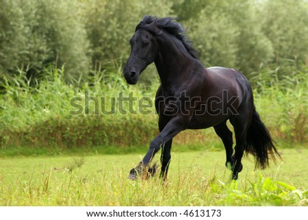 A black friesian horse cantering in a green meadow