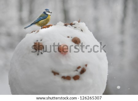 A blue tit (Cyanistes caeruleus) is eating seeds from a head of a snowman