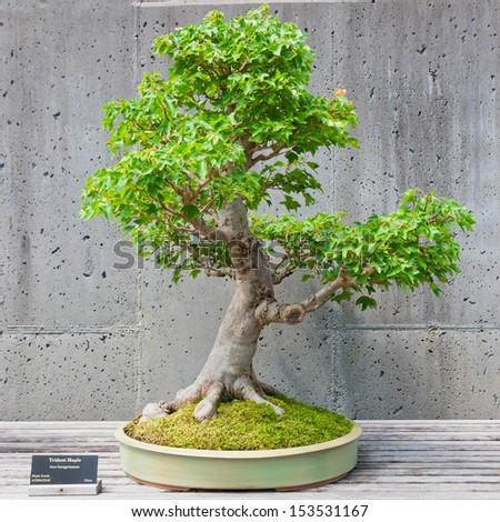 A Bonsai Miniature Of A Trident Maple Tree On Display At