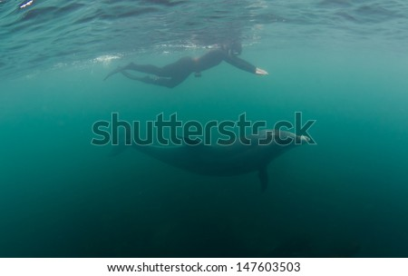 A bottlenose dolphin swims with a snorkeler in the green waters of Ireland