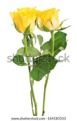 A bouquet of three yellow roses. isolated on white.