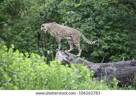 A breathtaking side shot of a cheetah standing on a big tree log, looking down as if they are ready to take action or anxiously awaiting prey.