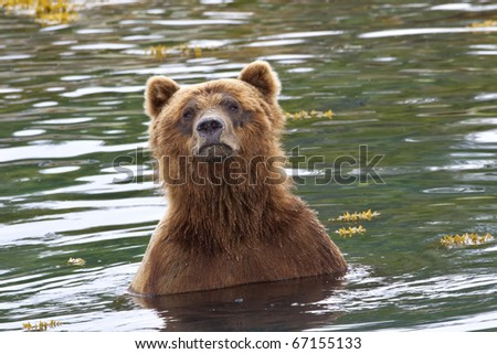 a brown bear in the waters of alaska