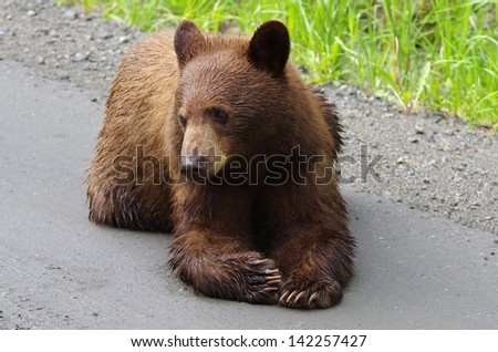 A Brown Coloured Black Bear