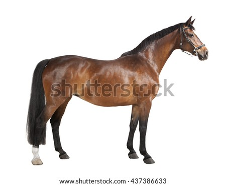 a brown horse in studio against a white background, isolated