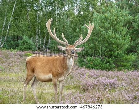 A cautious red deer (Cervus elaphus) holds up its neck to look for predators