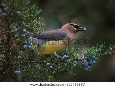a cedar waxwing eating a blue berry off an evergreen tree in the winter time at twilight