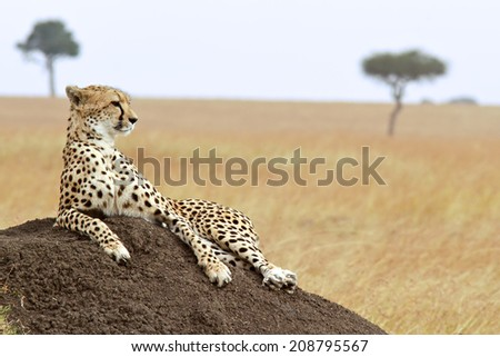 A cheetah (Acinonyx jubatus) on the Masai Mara National Reserve safari in southwestern Kenya. soft focus