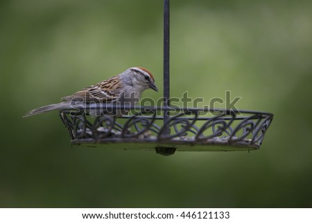 A Chipping Sparrow eating (mostly sunflower) seeds from a backyard feeder.
