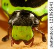 a close of the head of a green fiddler beetle - stock photo