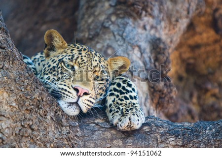 A close up of a leopard resting in the fork of a large tree
