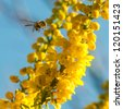 A close-up of a wasp flying away from some yellow mahonia japonica blooms. - stock photo