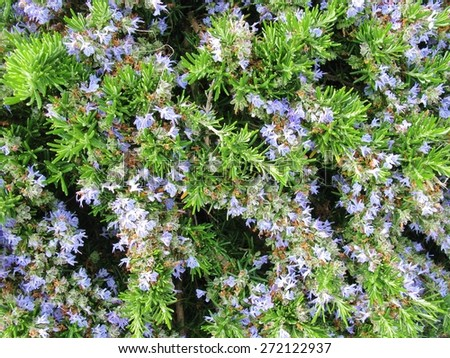 A close up of blue flowering rosemary (rosmarinus officinalis)