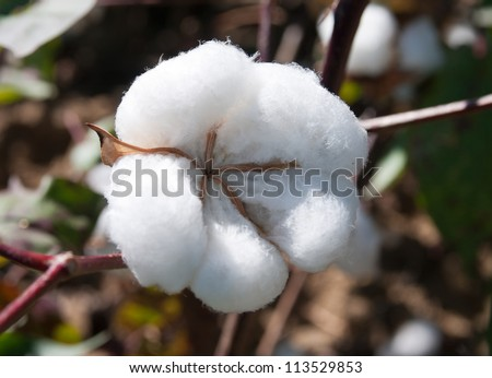 A close up of cotton that is ready to pick.