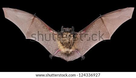 Bat Wings Close Up | Download Foto, Gambar, Wallpaper ...