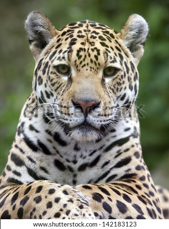 A close up portrait of a Jaguar