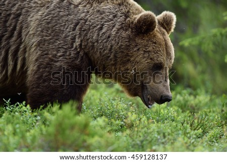 A close up shot of a wild big male brown bear in deep green european forest