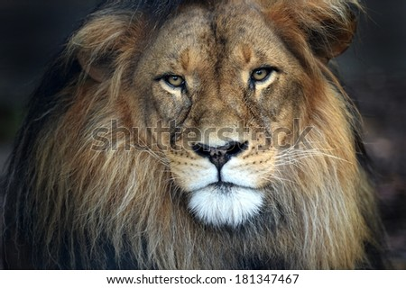 A close up shot of an African Lion