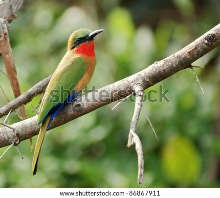 "a colorful bird in Uganda (Africa) named ""Bee-eater""while sitting on a twig in front of green blurry vegetation"