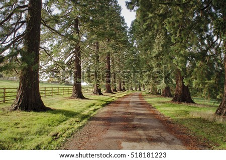 a country road with wellington trees