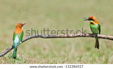 A couple Bay-headed Bee-eater (Merops leschenaulti) is a species of bird in the Bee-eaters (Meropidae) family. It is mating season in Thailand.