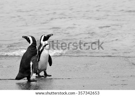 A couple of Penguins in the penguin colony of Betty´s Bay-South Africa
