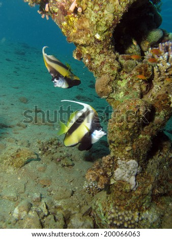 A couple of Red Sea Bannerfish