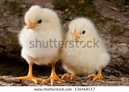 A couple of yellow chickens standing on a log on the wood background