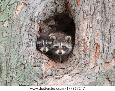Photograph Three Young Raccoons Scrambling Over Stock