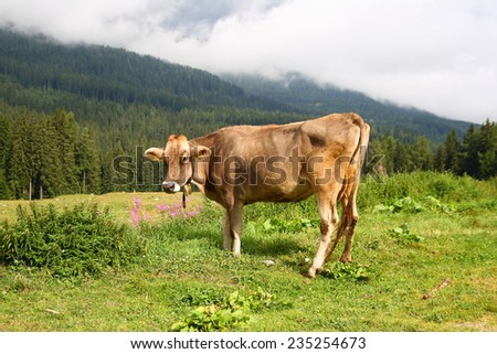 A cow in the high fields of the Dolomites