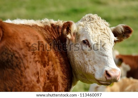 A cow looks around.