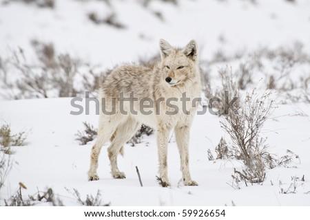 A coyote pauses to reflect in a sagebrush meadow in Yellowstone Park