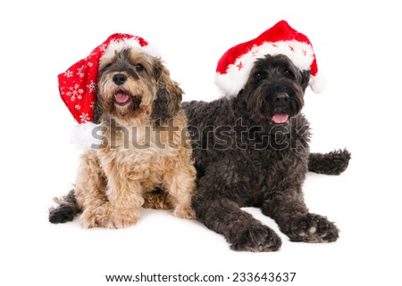 A crossbreed and a Bouvier wearing Santa hats, isolated on white
