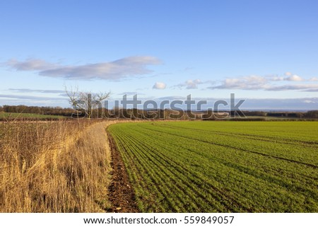a curving wheat field in a yorkshire wolds landscape with trees and dry grasses overlooking the vale of york with woodland and hedgerows under a blue cloudy sky in winter