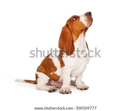 A cute and well trained Basset Hound puppy dog looking up while sitting at an angle.