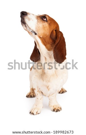 A cute Basset Hound dog with drool on his mouth while sitting forward and looking up and to the side