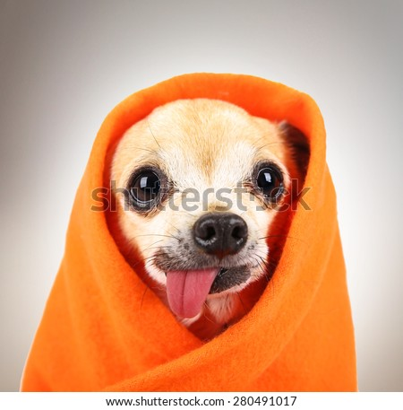 a cute chihuahua eith his tongue hanging out and a blanket wrapped around him isolated on a while background in the studio
