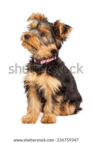 A cute little Teacup Yorkie puppy sitting down and to the side