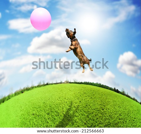 a cute terrier dachshund mix at a local park on a hot sunny day chasing a pink ball