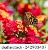 A dainty monarch butterfly, Danaus plexippus,  one of Australia's best-known exotic butterflies  sitting on a bright yellow and red lantana camara flower head  in early summer is a pretty sight. - stock photo