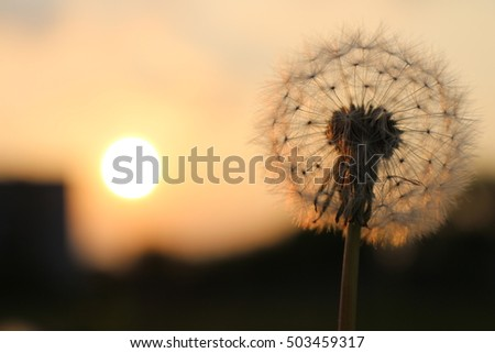 a dandelion on a sunset background