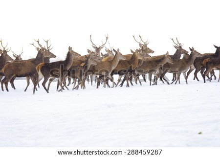A deer herd in fields winter