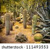 A desert garden of stunning cacti under a yellow blooming tree. - stock photo
