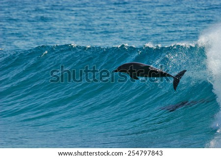 A dolphin leaps through the face of a wave that it has been surfing.