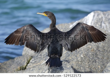 A Double-crested Cormorant (Phalacrocorax auritus) perches on a rock waiting for its wings to dry - St. Petersburg, Florida