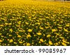 A Dutch greenhouse with yellow colored chrysanthemums ready for harvest. - stock photo