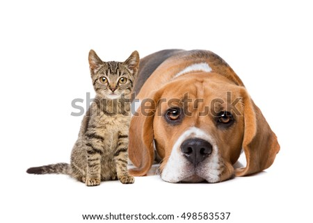 A European shorthaired kitten and a beagle in front of a white background